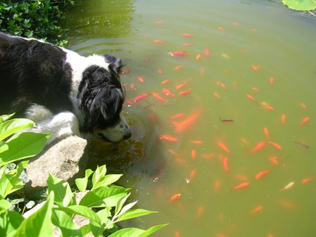 dog in fish pond